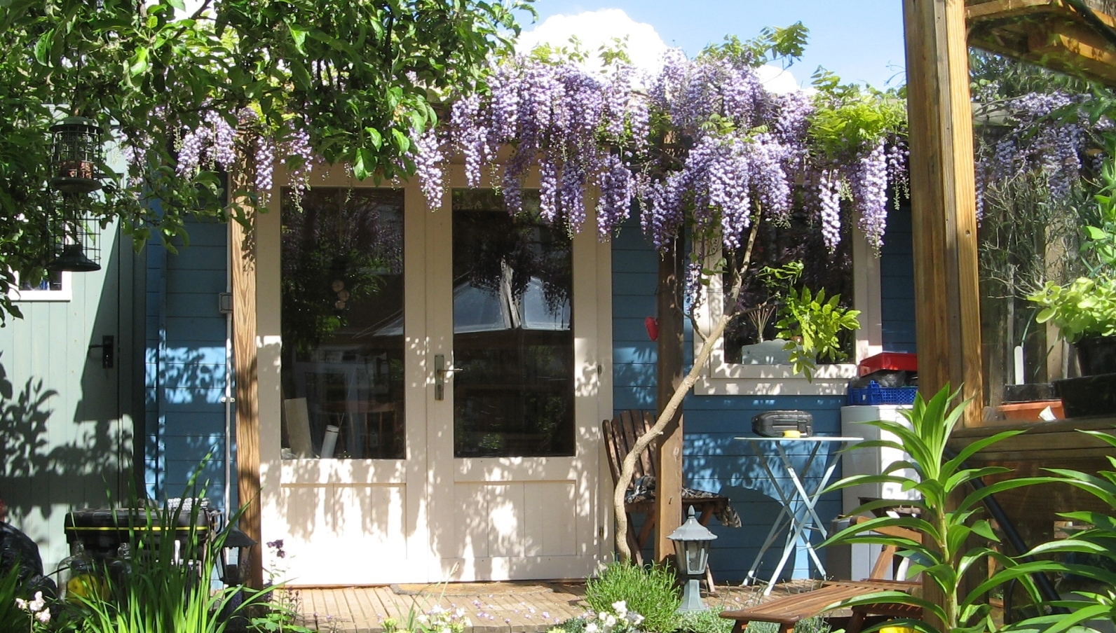 My garden studio with a rare 'Black Dragon' wisteria adorning the porch