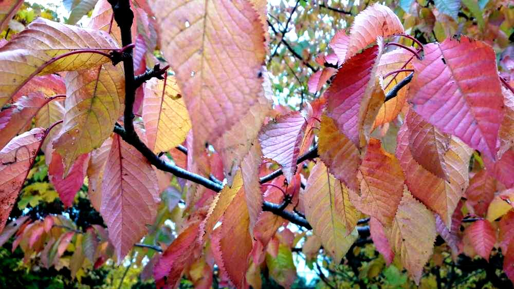 Autumn leaves - yellow to red... plus brown