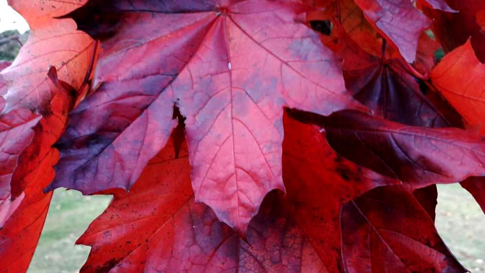 Autumn leaves - red to purple