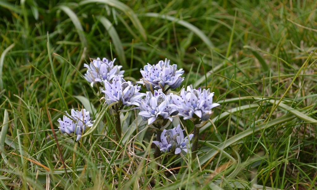Scilla verna or the Spring Squill on Trevose Head