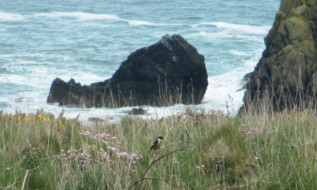 Stonechat on the east side of Trevose Head