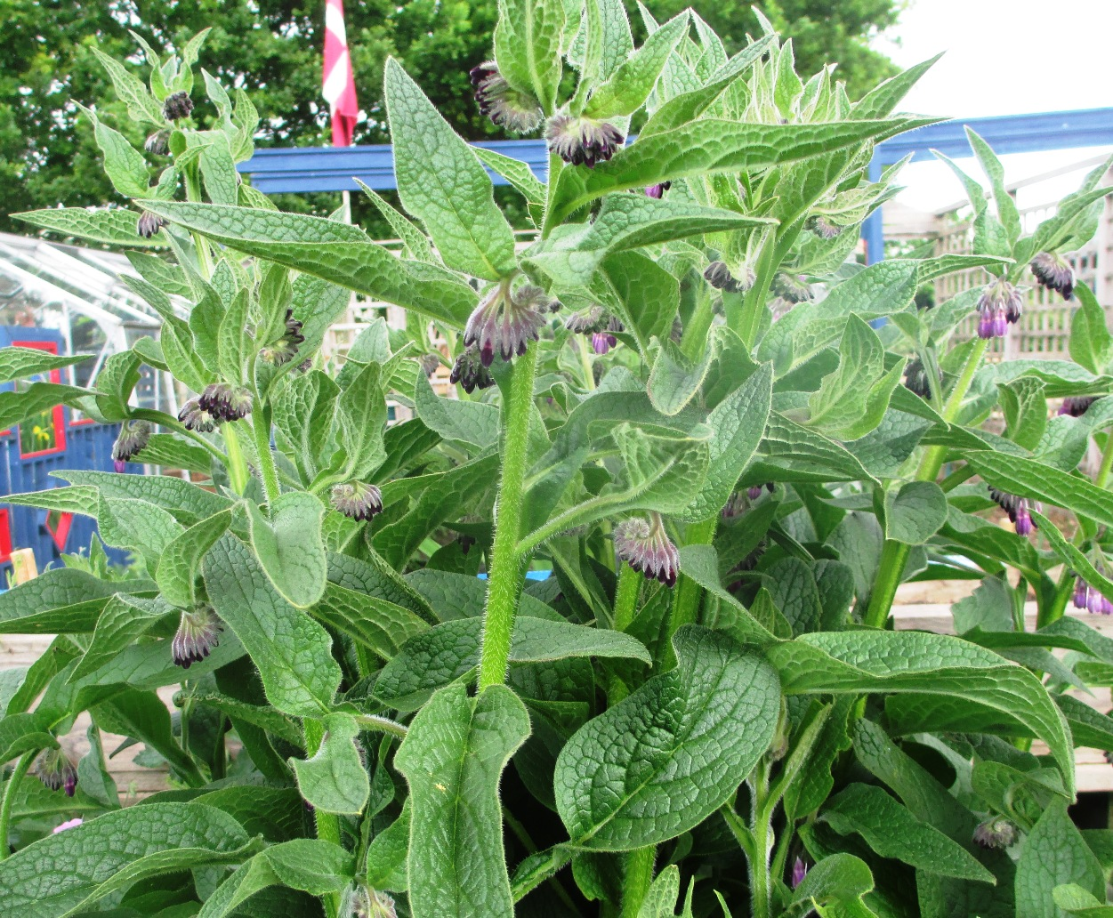 Comfrey plants growing at my allotment