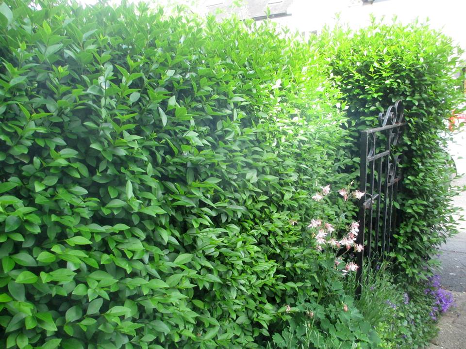 Privet hedge before pruning