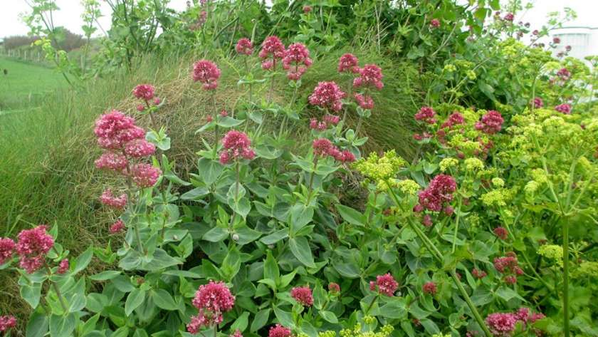 Cornish Valerian growing alongside Alexanders