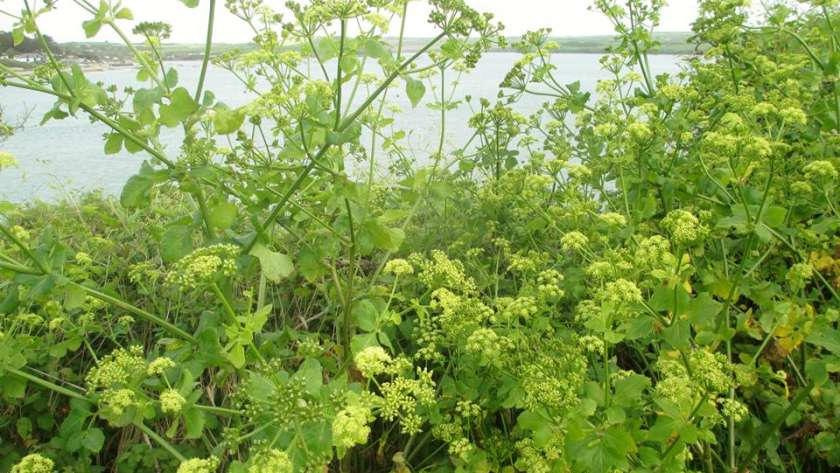Alexanders growing near Padstow, Cornwall