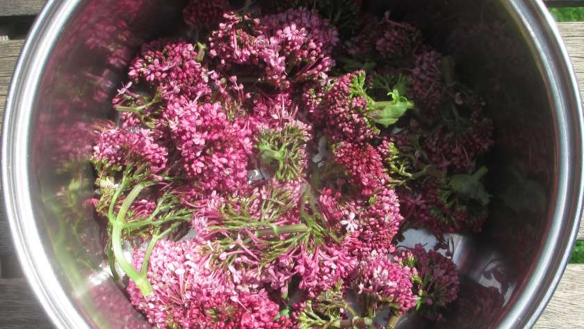 Cornish Valerian in the dyepot