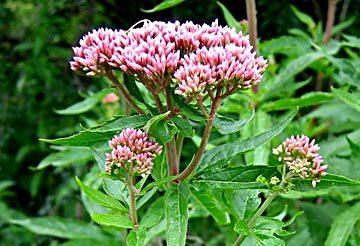 Hemp Agrimony - a yellow dye plant