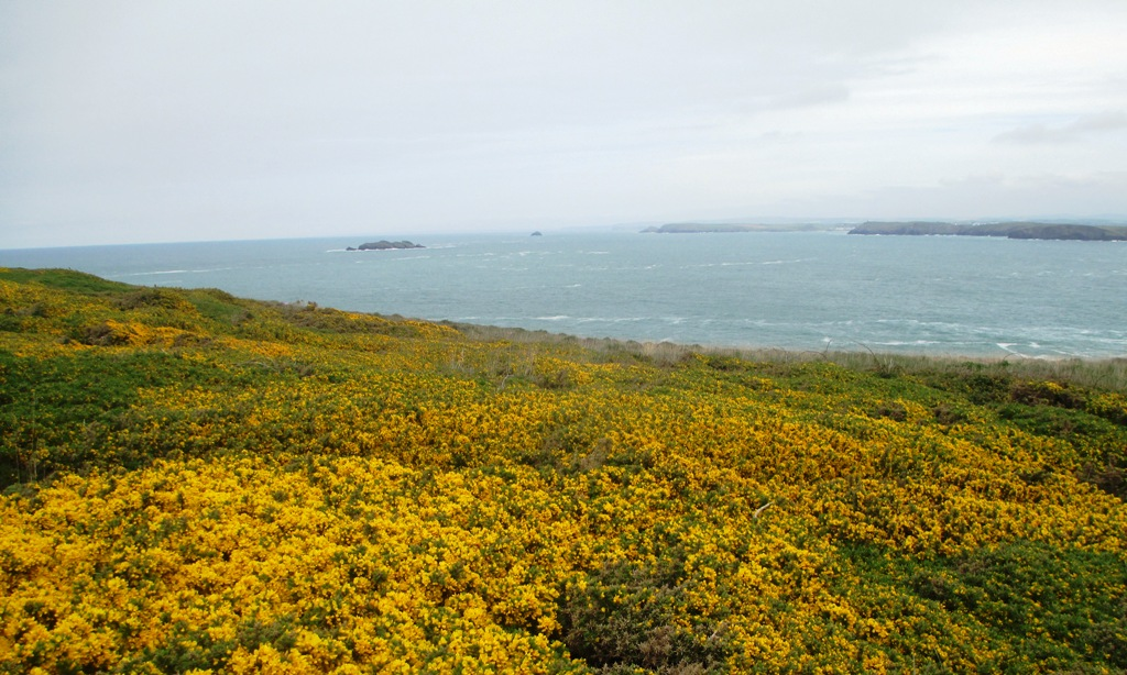 Gorse flowers on the east side of Trevose Head  (c) Madeleine Jude Ltd 2017