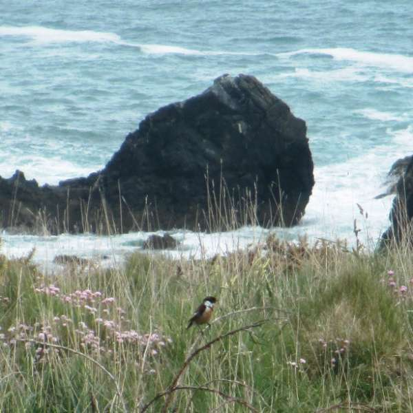 Stonechat on the east side of Trevose Head (c) Madeleine Jude Ltd 2017
