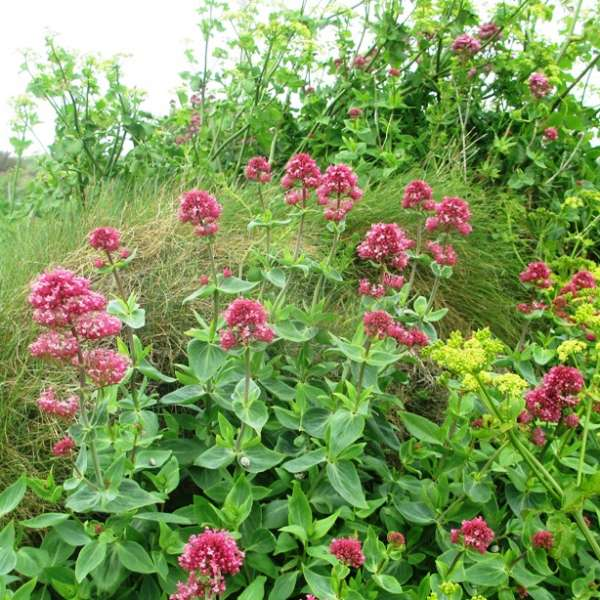 Centranthus ruber or Cornish Valerian growing beside the footpath on Trevose Head (c) Madeleine Jude Ltd 2017