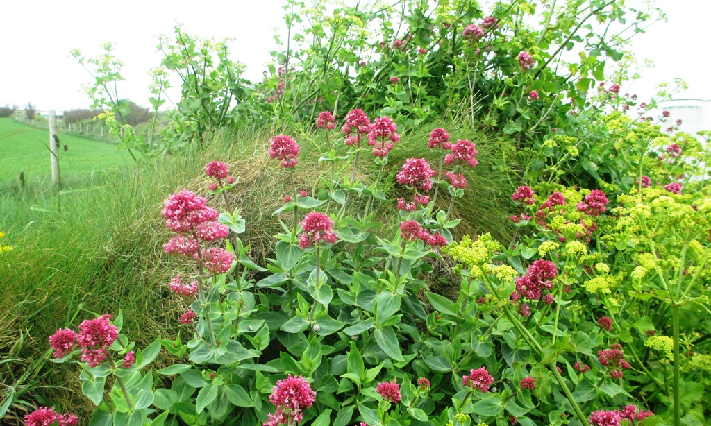 Centranthus ruber or Cornish Valerian growing beside the footpath on Trevose Head