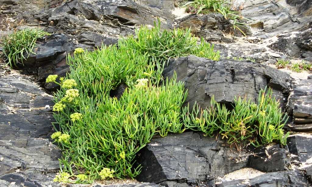 Samphire on Trevose Head