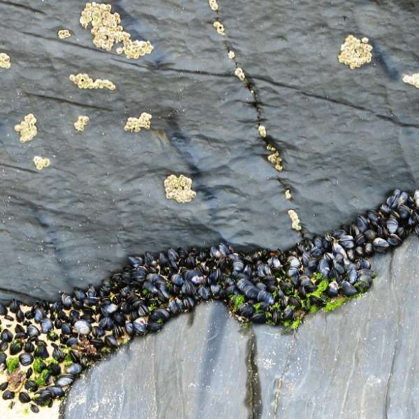 Slate rocks and mussels on Boobey's Bay (c) Madeleine Jude ltd 2017